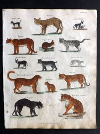 Goldsmith & Shaw 1817 Hand Col Print. Puma, Serval,  Hunting Leopard, Panther, Jaguar, Lynx
